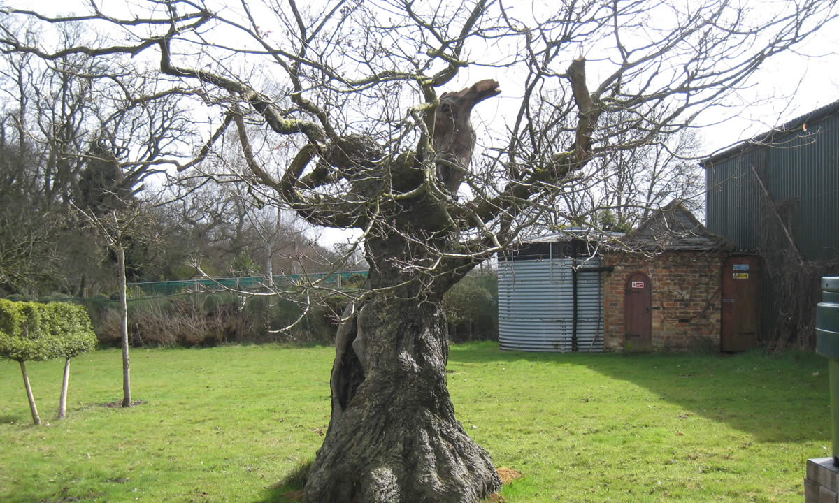 stunted tree with hollow