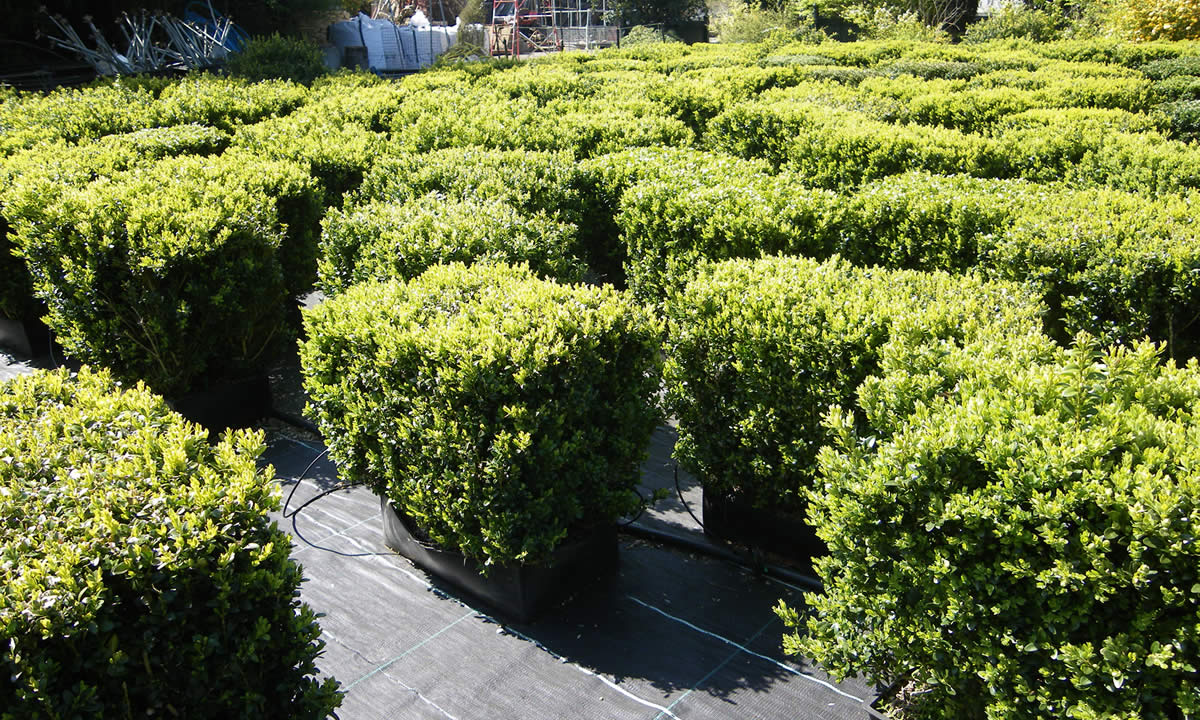 screening & hedging plants image