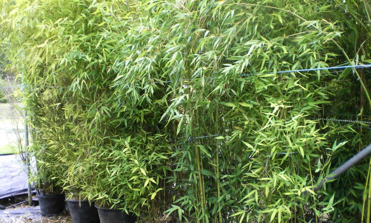 screening & hedging plants 2